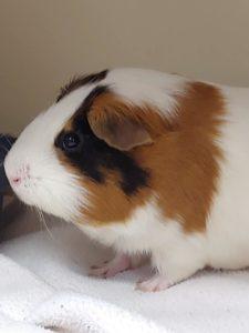 Guinea pig Meyer