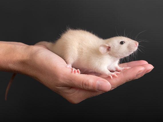 rat-pet